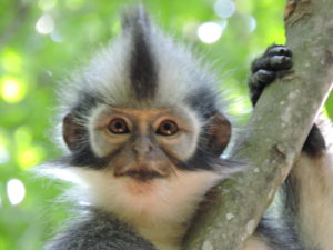 thomas leaf monkey